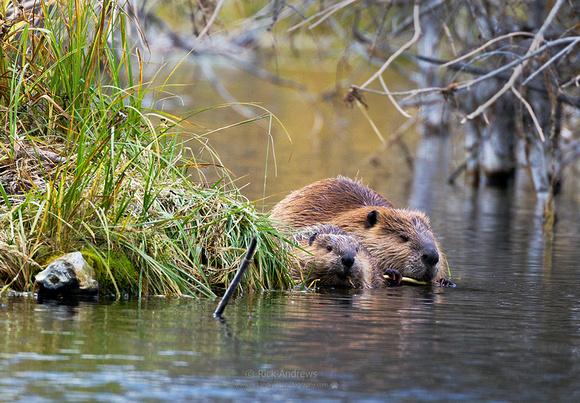 Beaver-9406