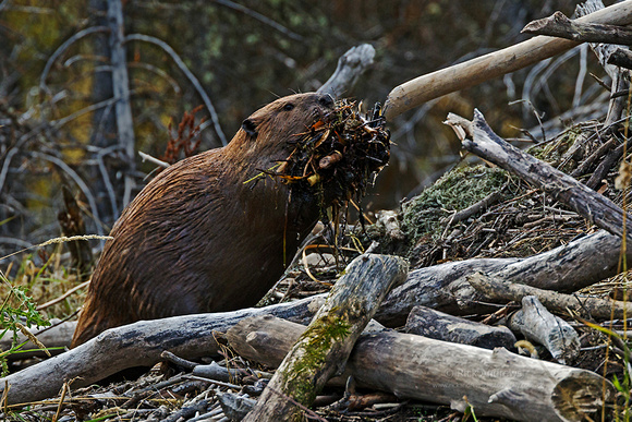 Beaver-9417
