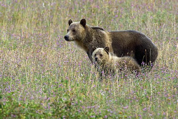 GrizzlyBear-4800