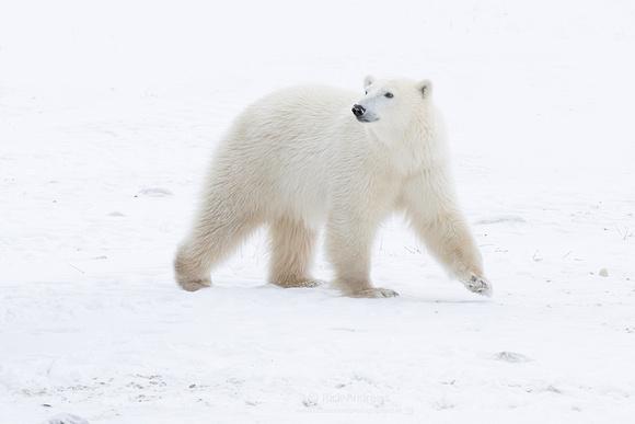 PolarBear-9899