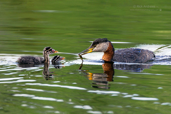 RedNeckGrebe-9569