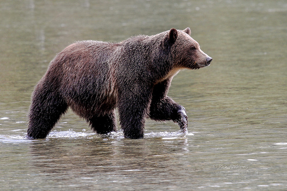 GrizzlyBear-6208