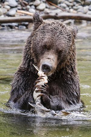 GrizzlyBear-1632