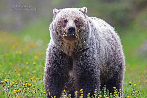 GrizzlyBear-5742