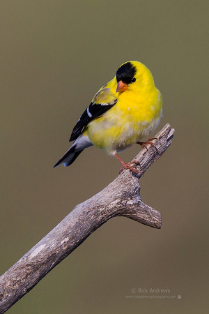 AmGoldFinch-0341-2L