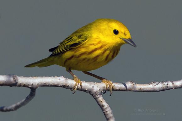 YellowWarbler-0539