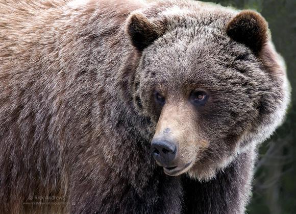 GrizzlyBear-8957-1