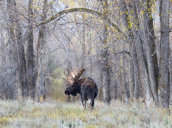 Moose-8283