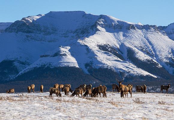 Elk-0741
