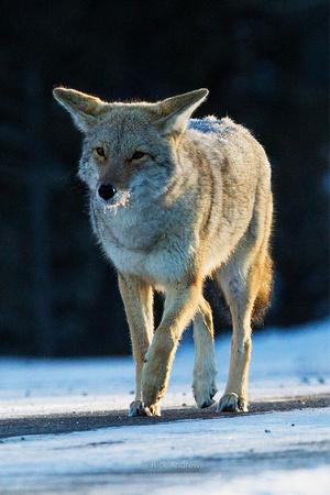 Coyote-6407